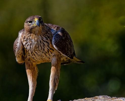 Aves en Arribes del Duero